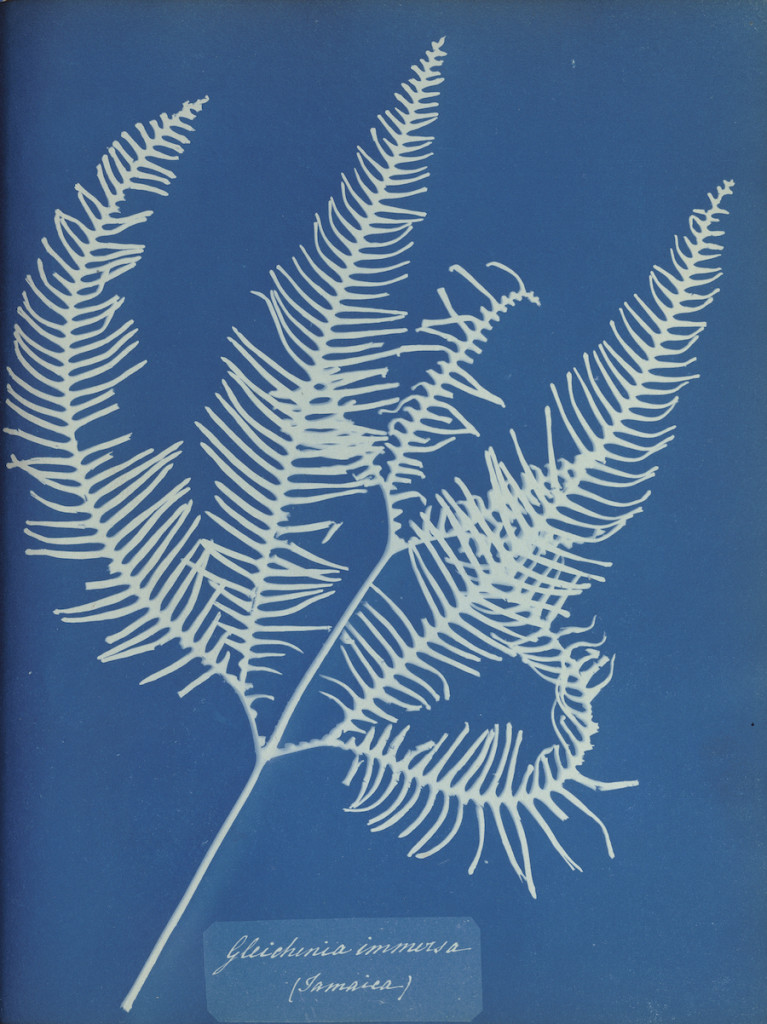 Gleichenia immersa (Jamaica).; Anna Atkins (British, 1799 - 1871), and Anne Dixon (British, 1799 - 1877); 1853; Cyanotype; 25.4 x 20 cm (10 x 7 7/8 in.); 84.XO.227.90